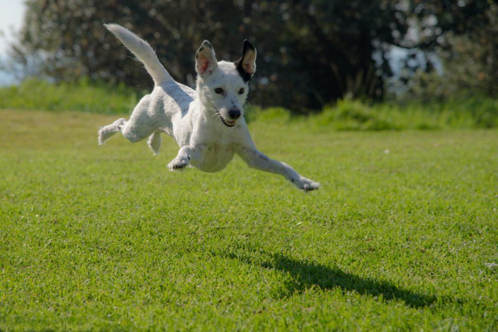 dog jumping