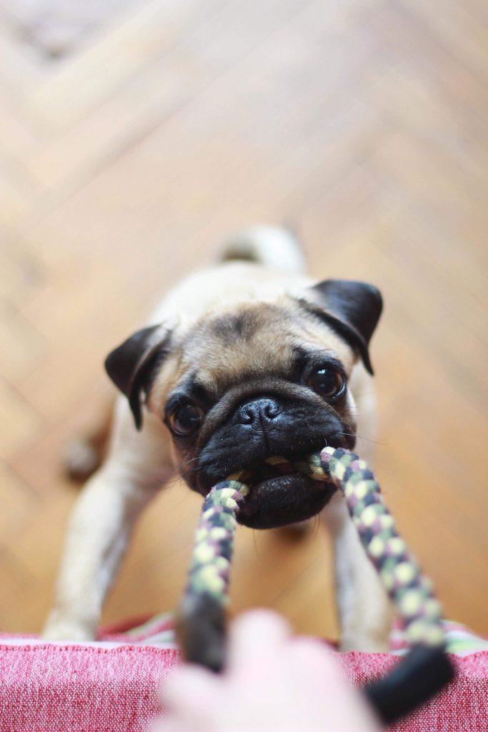 dog tugging