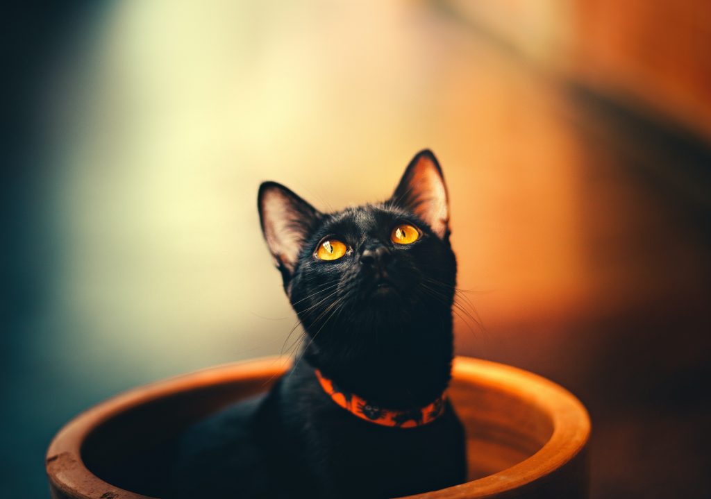 black collar in cat