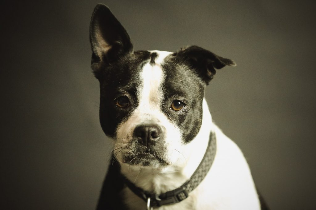 bulldog with balck collar
