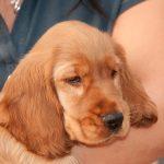 coccidia-in-dogs