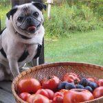 dog with tomato bucket