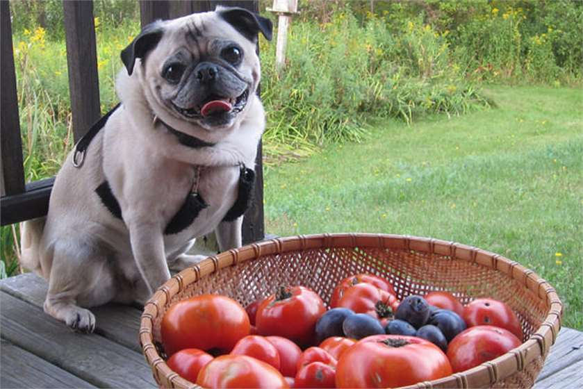 dog with tomato bucket