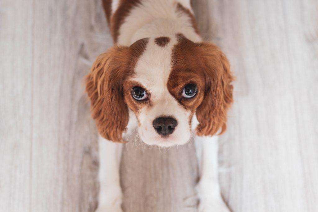 small dog staring at the camera
