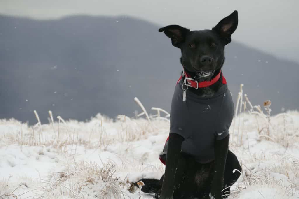 black dog in a gray sweater