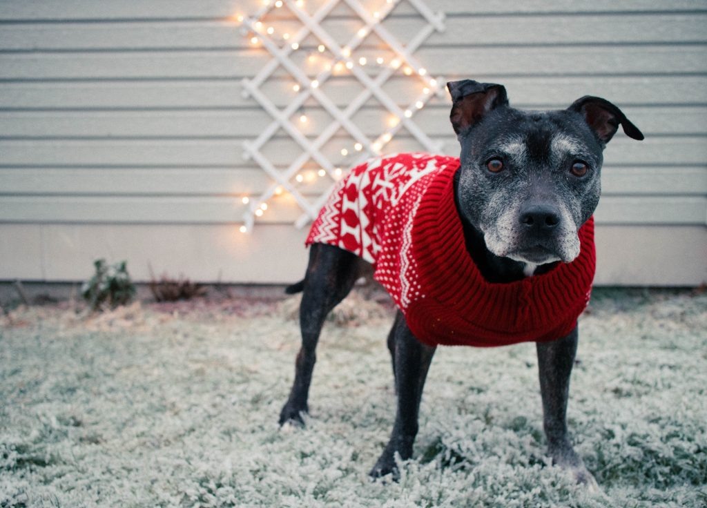 bulldog in a red sweater