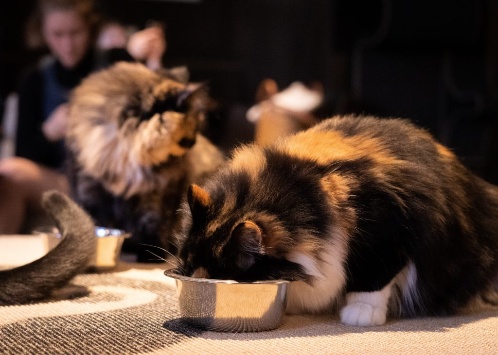 Food allergy in cats: what are the best treatments?