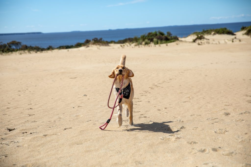dog holding his leash
