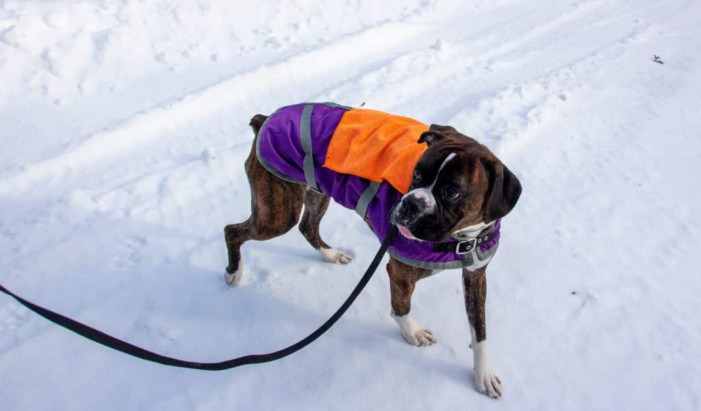 dog in a violet sweater