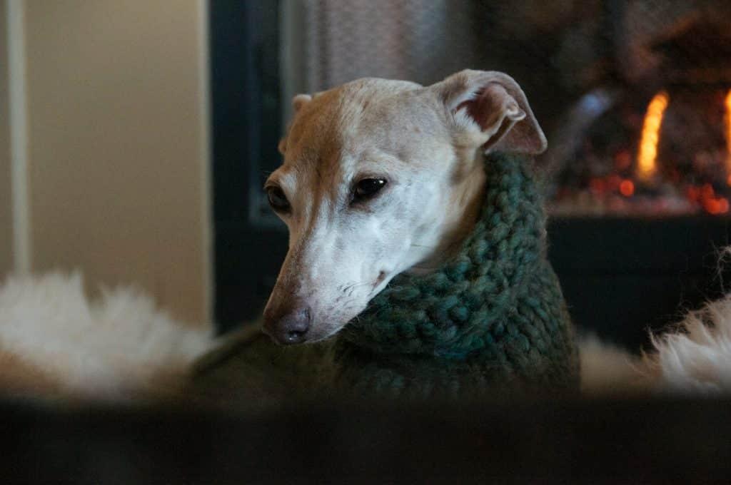 dog in green sweater