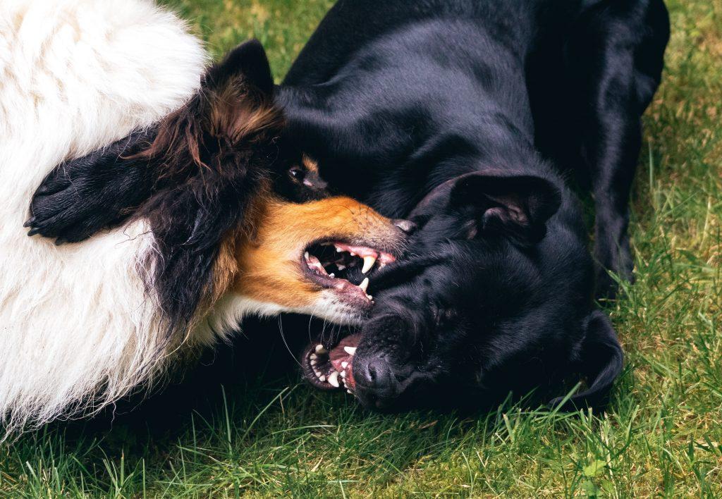 dog play fighting