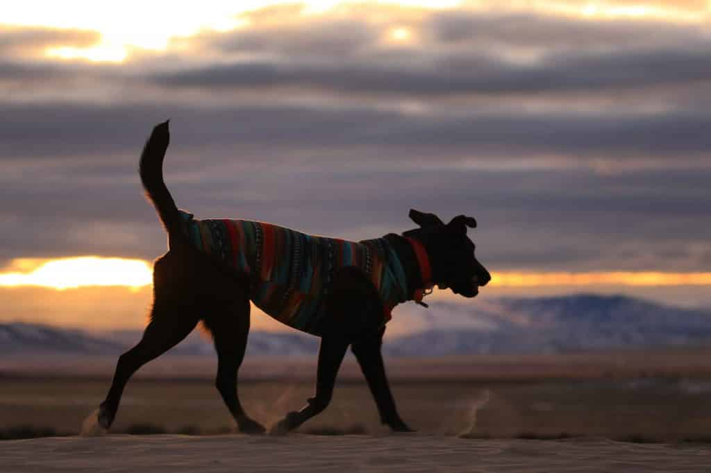dog walking in a colorful sweater