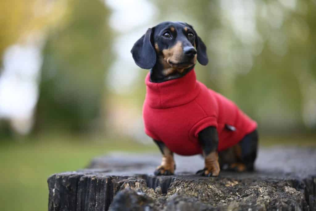 small dog in a red sweater