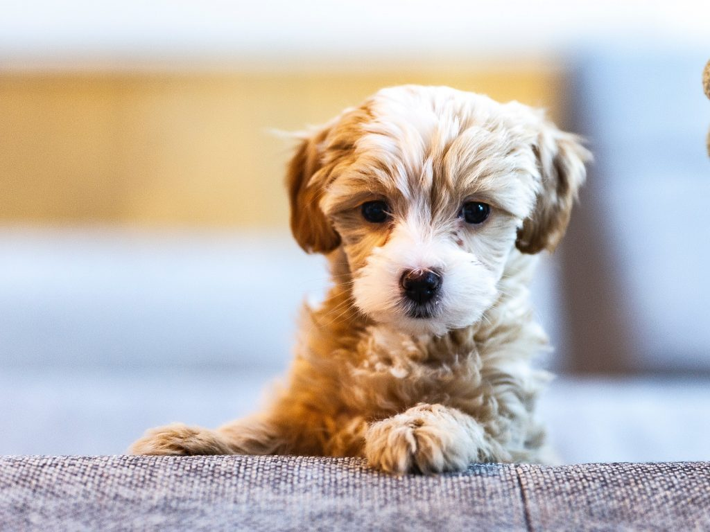 small hairy dog