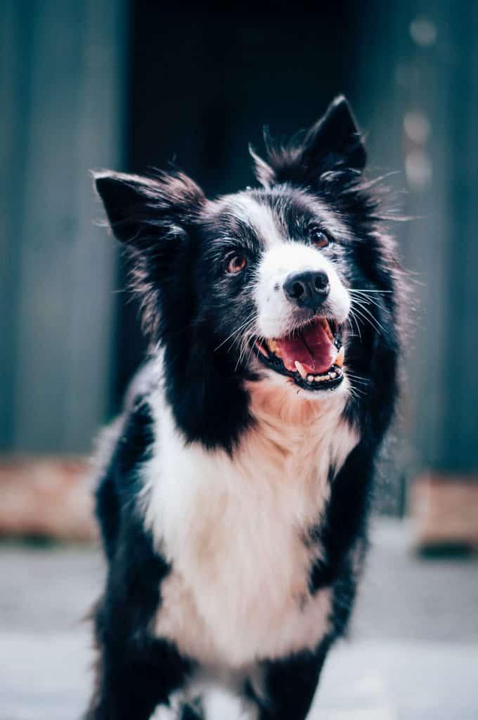 black and white coated dog