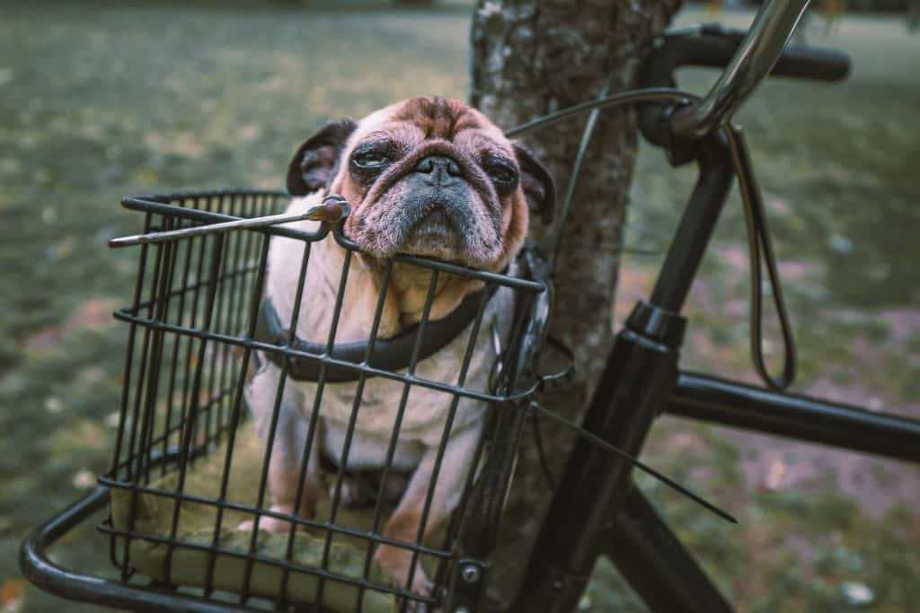 dog cart (2)