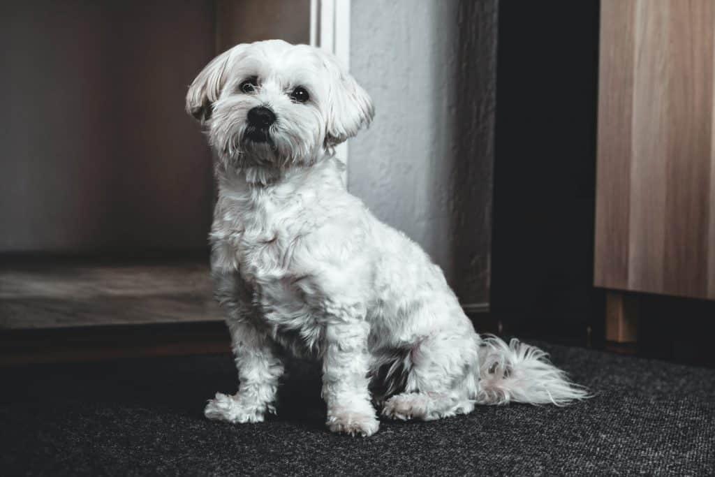 white hairy dog
