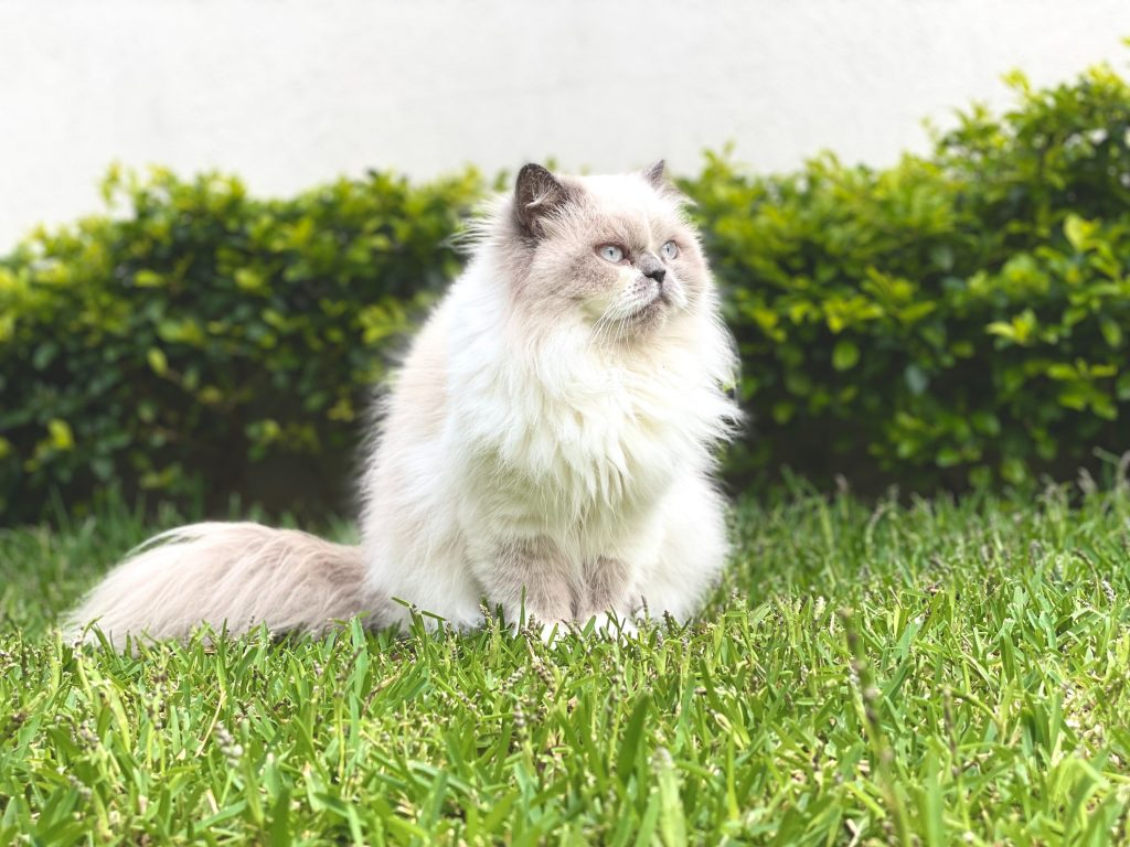 Why is cyprus grass so good for cats?