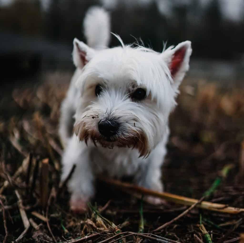 small white puppy