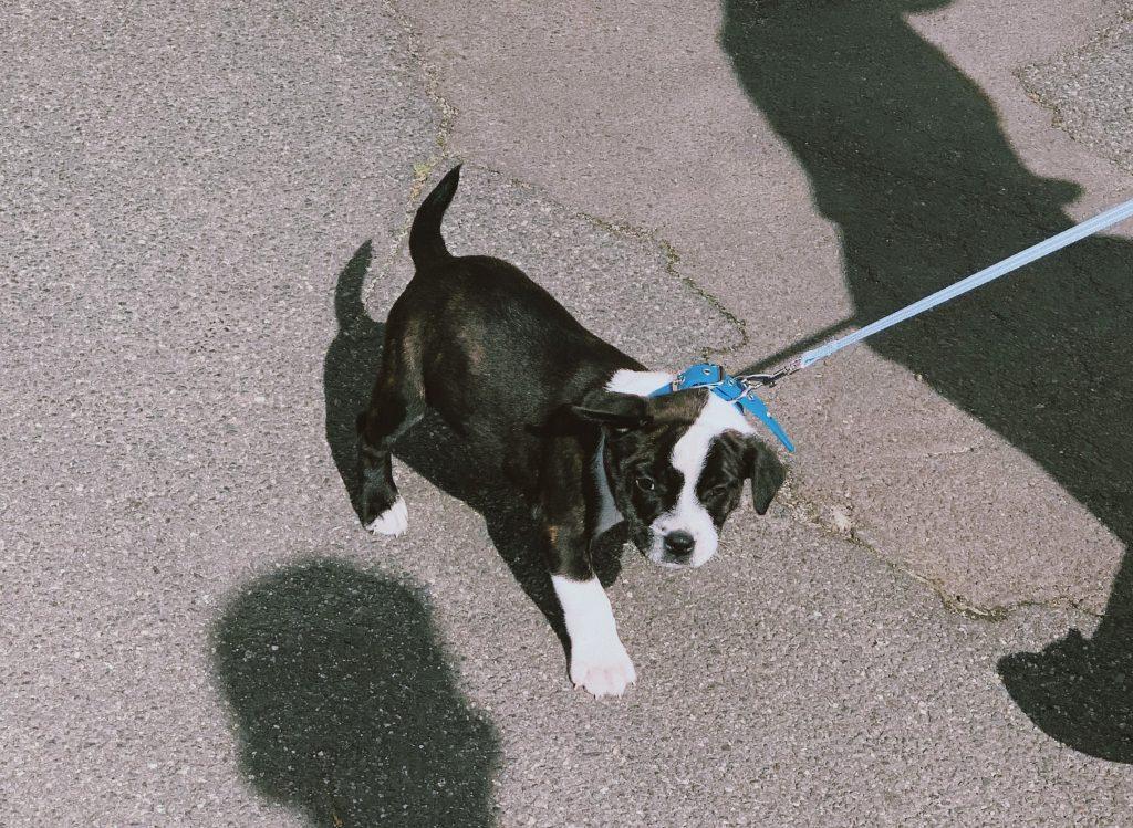 dog leash (3)