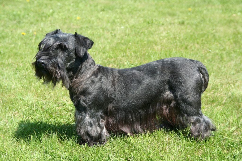 Czech Terrier