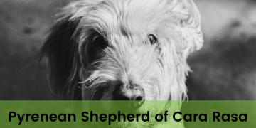 Pyrenean Shepherd of Cara Rasa