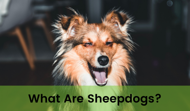 What Are Sheepdogs?