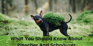 What You Should Know About Pinscher And Schnauzer