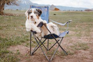australian sheperd dog