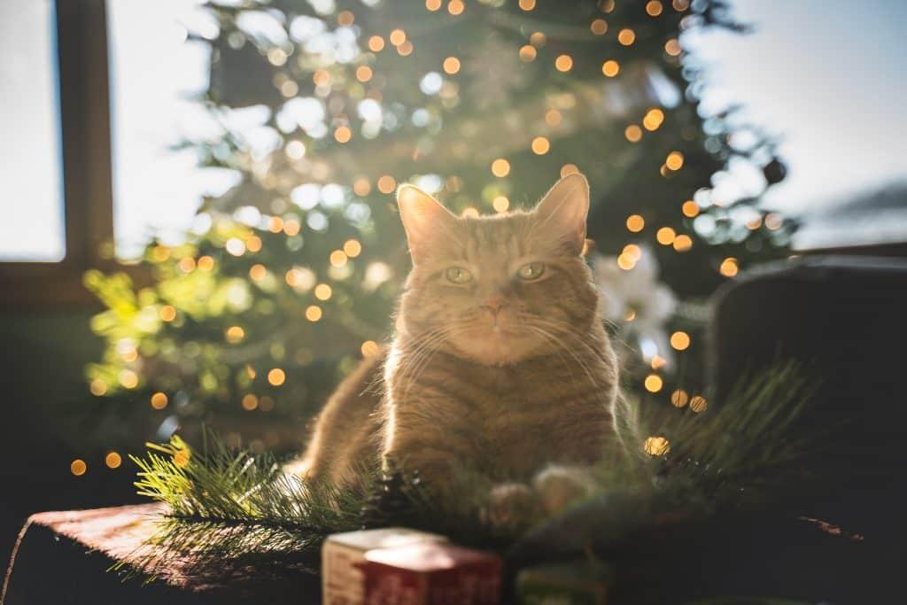 cat on christmas