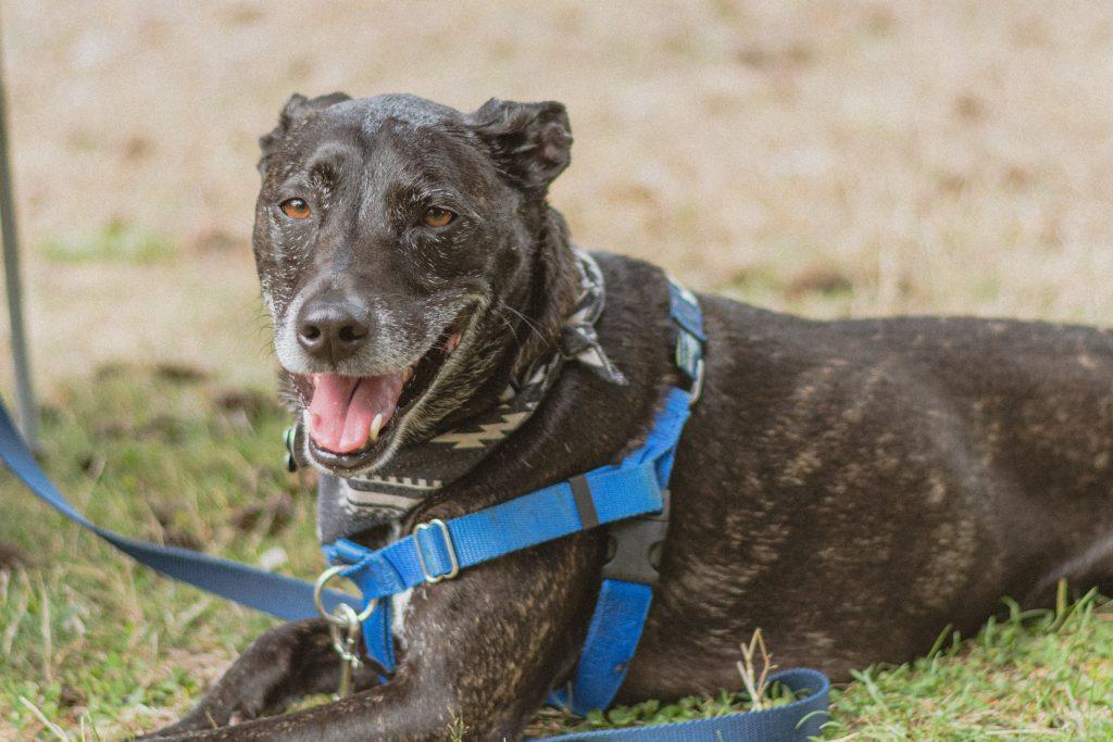 dog leash blue