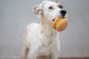 whiite dog holding a burger